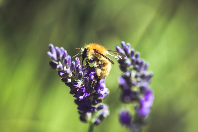 bienenfreundliche Bepflanzung mit Lavendel